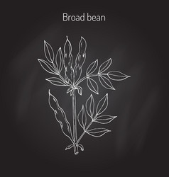 broad beans vector image