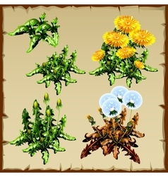Stages of growth dandelion planting and withering vector