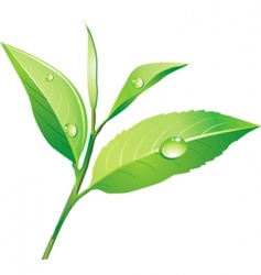 vector green tea vector image vector image