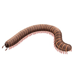 Centipede on white background vector image