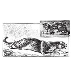 Cheetah and ocelot vintage vector