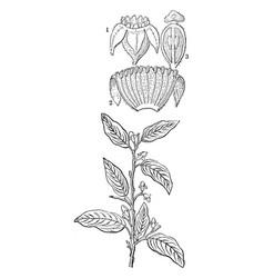 Aquilaria vintage vector