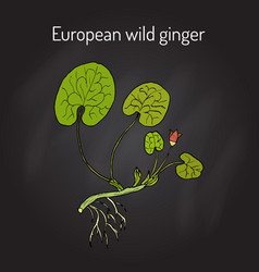 European wild ginger asarum europaeum or vector