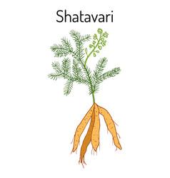 shatavari asparagus racemosus or shatamull vector image