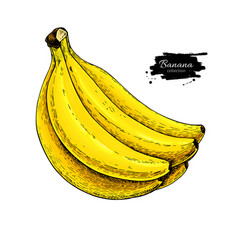 Banana bunch drawing isolated hand drawn vector