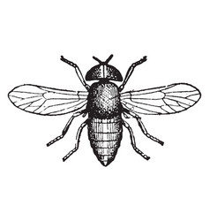 horse fly vintage vector image