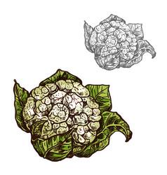 Cauliflower cabbage sketch vegetable icon vector