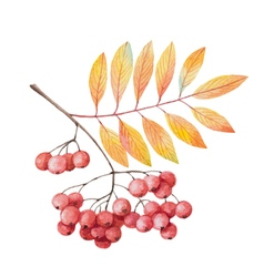 Hand painted watercolor twig rowan branch vector