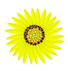 Elegant perfect yellow sunflower on white vector
