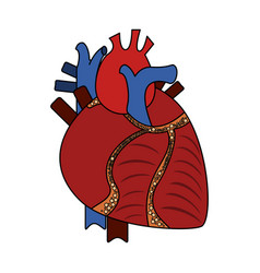 human heart organ vector image