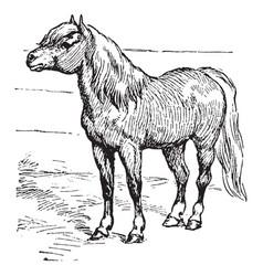 Shetland pony vintage vector