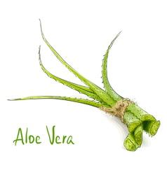 Aloe vera vector image vector image