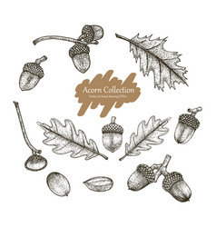 Acorn collection set hand drawing vintage s vector