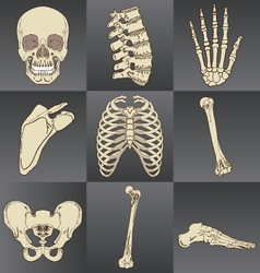 Human bones vector