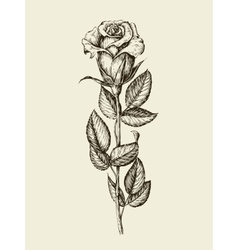 Hand drawn vintage rose vector image vector image