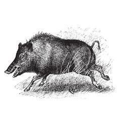 wild boar vintage vector image