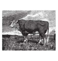 Hereford cow vintage vector