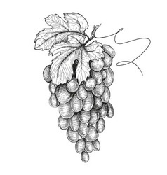 Hand drawn of grapes vector