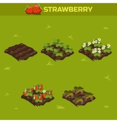 Set 13 isometric stage of growth berries red vector