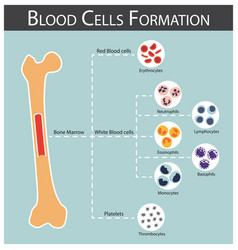 Blood cells formation vector
