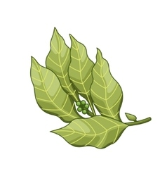 Bay leaf colored botanical vector image vector image