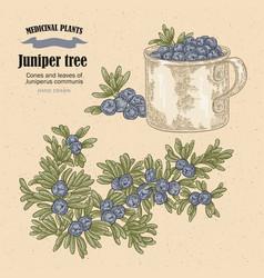juniper tree cones ans leaves of vector image