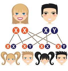 Gender dependency from chromosomes vector image vector image