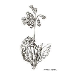 primula officinalis hand drawn botanical vector image vector image