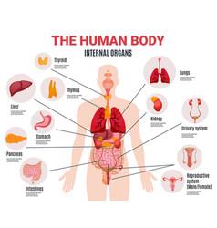 Human internal organs infographic poster vector