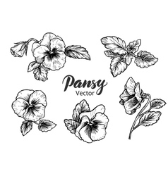Hand drawn pansy flowers vector