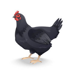 Black farm hen isolated on white background vector