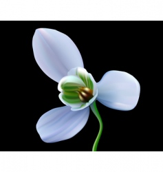 Snowdrop flower vector
