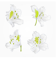 Blossoms white rhododendrons red set three vector