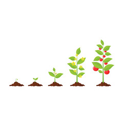 Growth of plant from sprout to vegetable vector