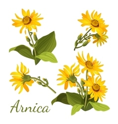 Arnica floral composition set of flowers with vector