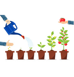Growth of plant in pot from sprout to vegetable vector