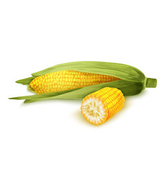 Corn stalk isolated vector