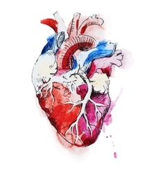 Watercolor human heart vector