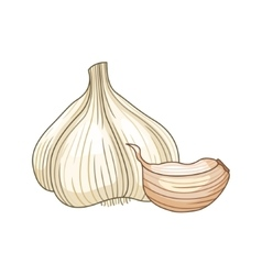 Garlic colored botanical vector image vector image