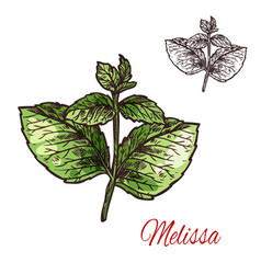 melissa leaf sketch of medical plant and aroma vector image