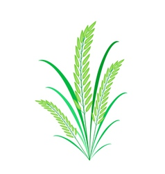 Cereal plants or green rice on white background vector