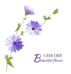 Blue chicory flowers vector