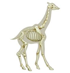 Giraffe skeletal system vector