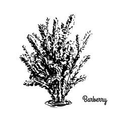 sketch berberis vector image vector image