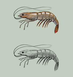 Shrimp vintage hand ink drawing vector