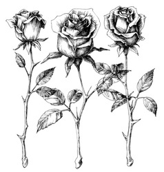 Single roses drawing set vector