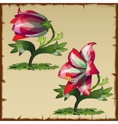 Unusual picture of red lily flower buds vector