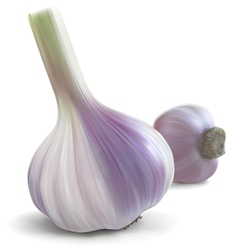 Garlic fresh vector