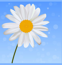 realistic chamomile or daisy flower vector image