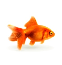 Goldfish photorealistic vector